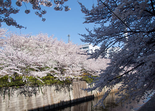 目黒の桜と千鳥ヶ淵の桜とハンバーガーとインドカレー。