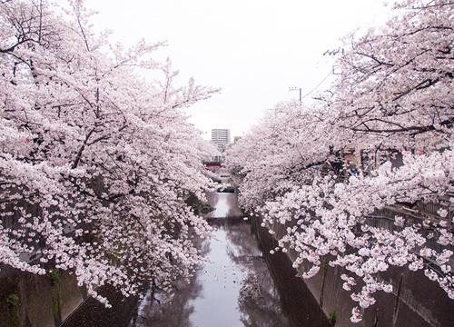 近所の桜スポットとハズレだったブッフェレストラン。